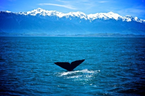 Diving back into life at the deep end - whale watching in New Zealand (A.Kumar)